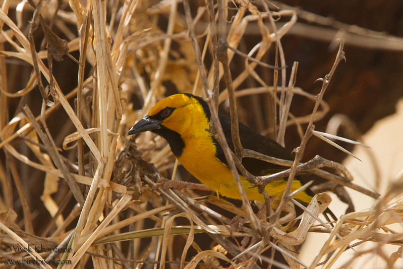 Vitelline Masked Weaver - Record - Tarangire National Park, Tanzania