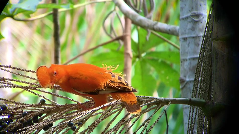 A male Guianan Cock-of-the-rock eating some of the abundant açai palm fruits at one of our lodges. Video by guide Marcelo Barreiros from one of our 2018 Rio Negro Paradise: Manaus. Brazil tours.