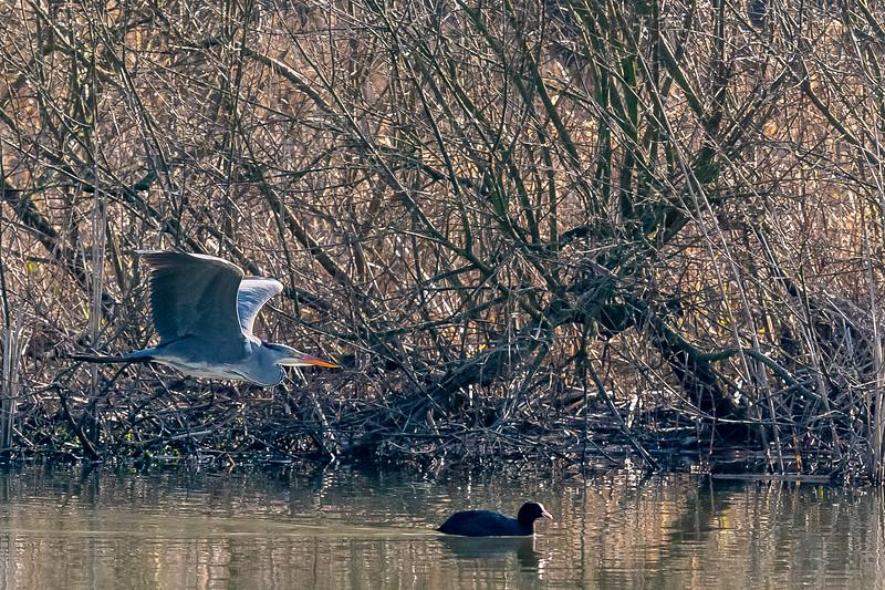 Heron-56.jpg