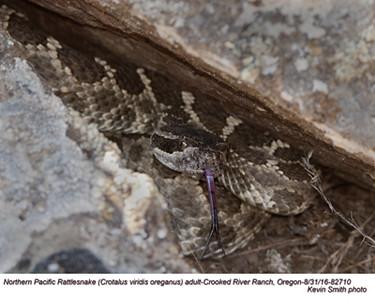 Northern Pacific Rattlesnake A82710.jpg