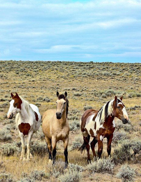 Wild Mustang Horses of Sand Wash Basin:  Downloads Are Not Available For This Gallery