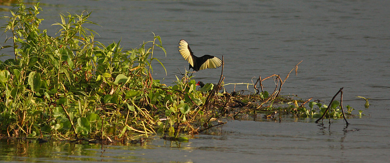 Wattled Jacana landing on Chagres River island