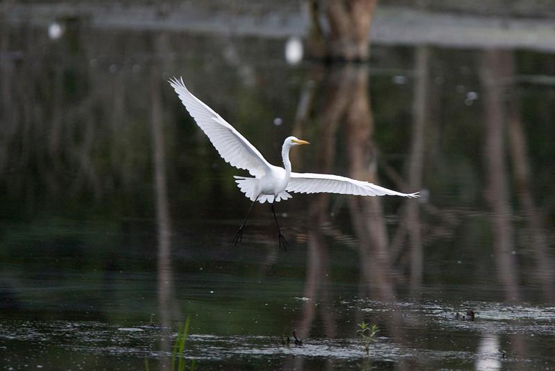 egrets-33-23.jpg
