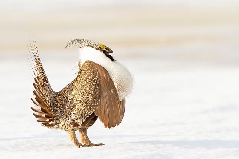 Snow Grouse-31.jpg