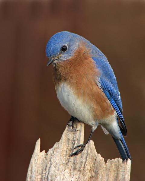 bluebird_2122.jpg