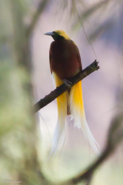 Lesser Bird-of-Paradise male at Kopia, Enga Province, Papua New Guinea (10-01-2013) 1322.jpg