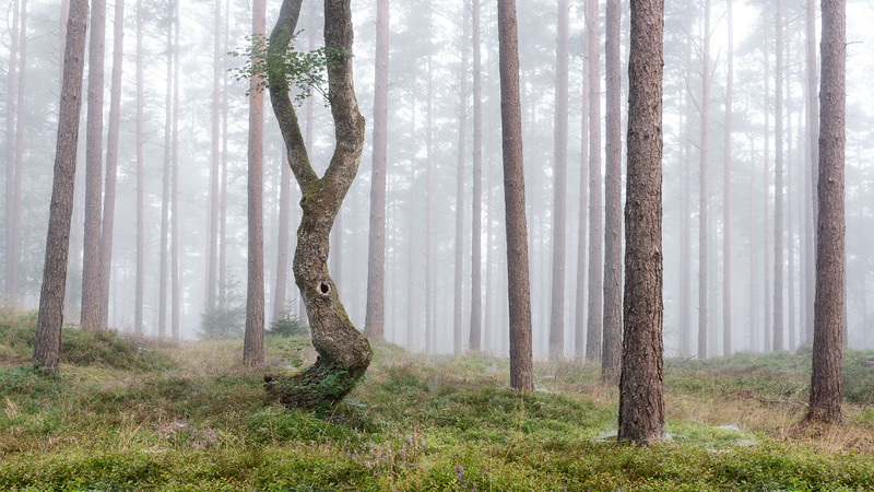 Forest birch tree Denmark Silkeborg Morning woodland Fog Landscape Photography_2.jpg
