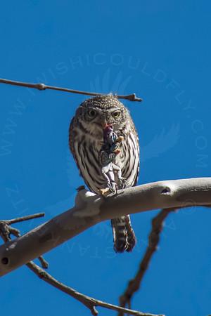Owl, Nothern Pygmy