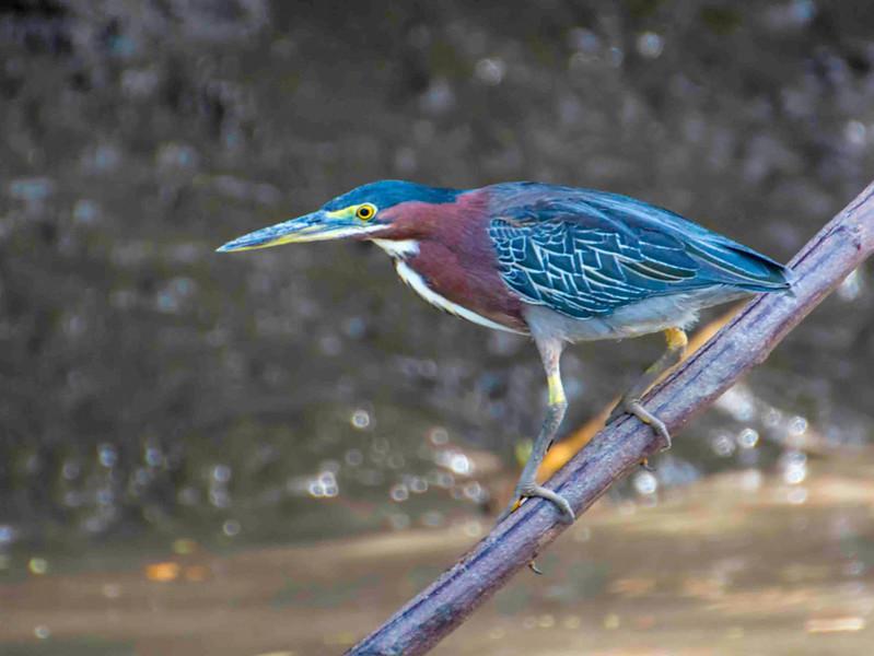 Costa Rica_Birds_Heron-2.jpg