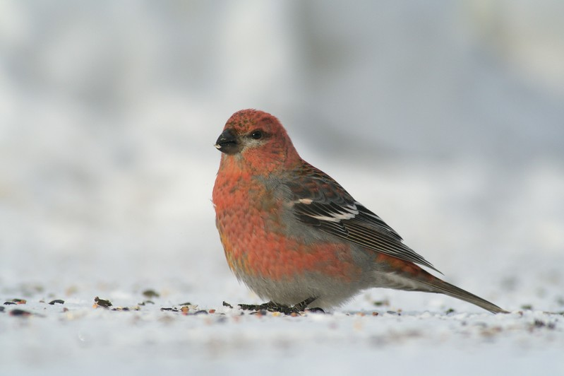 Pine Grosbeaks come south to northern states in winter [February; Sax-Zim Bog, Minnesota]