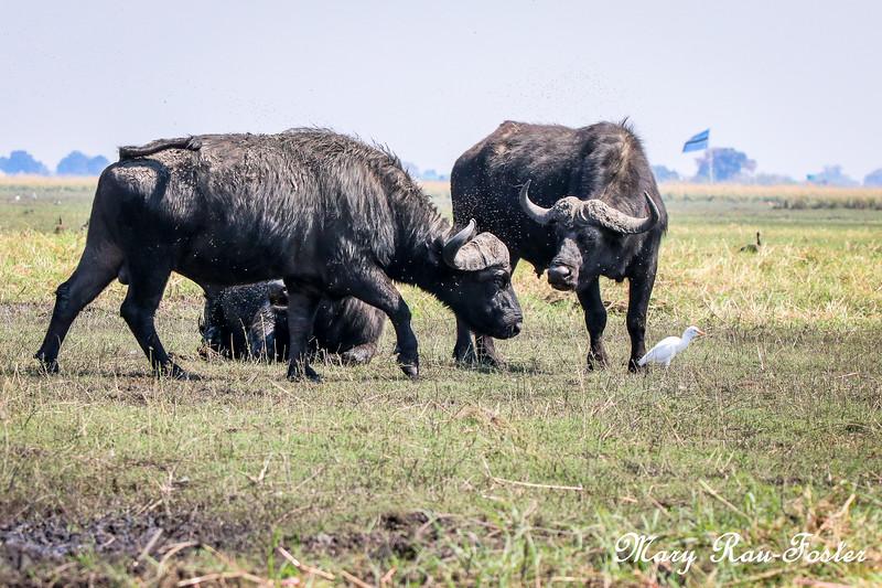 Cape Buffalo on Island