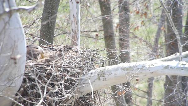 Eagles & Nest