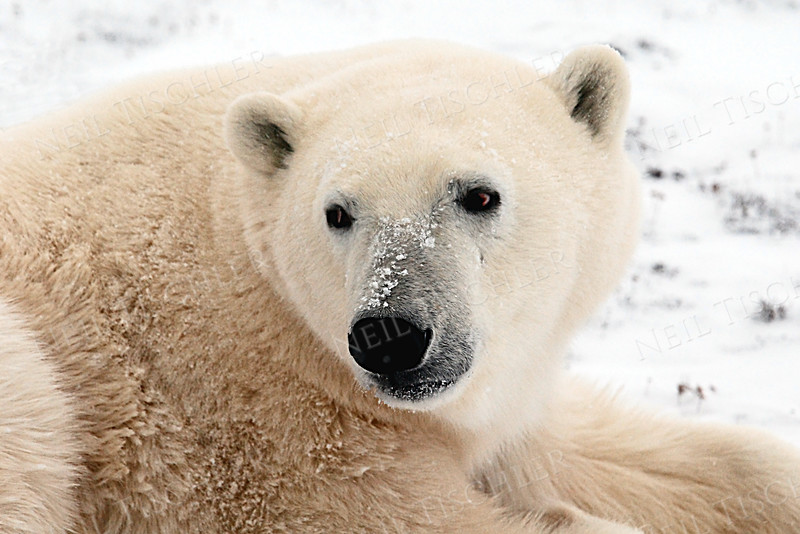 #534  A resting polar bear is not bothered by the presence of our tundra buggy slowly passing by, perhaps 100 feet away.