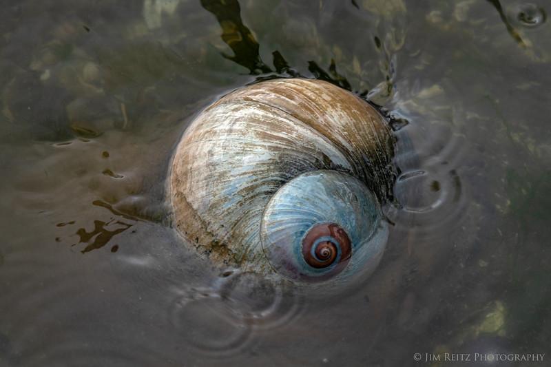 Lewis' Moon Snail, Bainbridge Island
