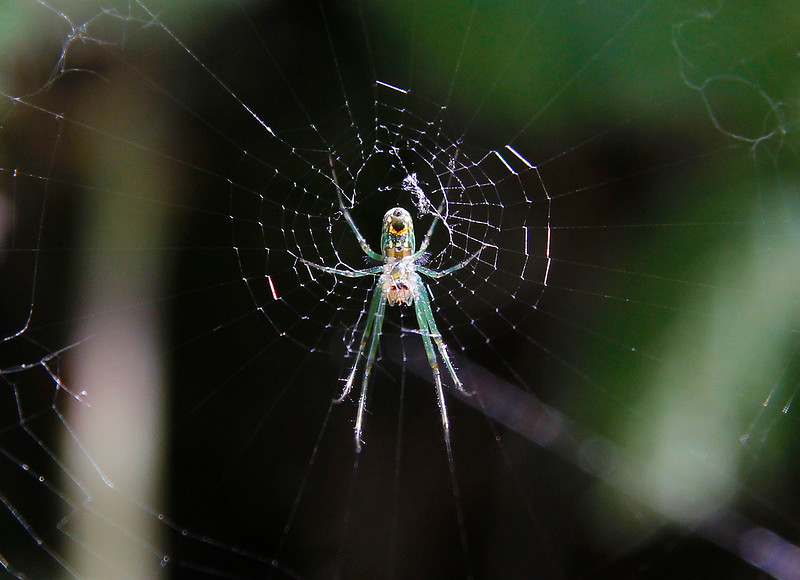 cosumnes spider.jpg