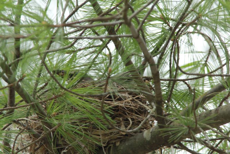American Robin (on nest) @ Rockwoods Reservation