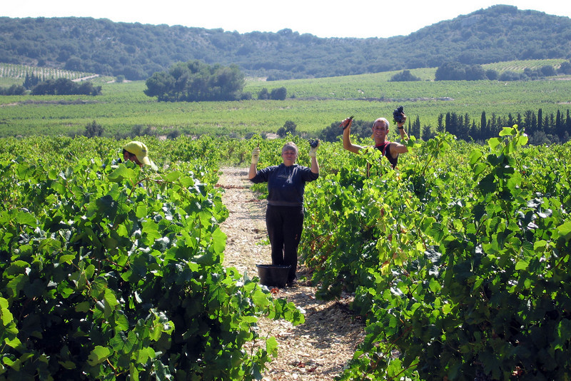 Locals harvesting grapes