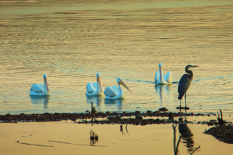 9.18.18 - Blackburn Creek Fish Hatchery: American White Pelicans & Great Blue Heron
