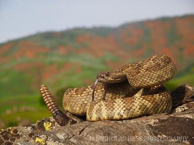Northern Pacific Rattlesnake, Crotalus oreganus oreganus