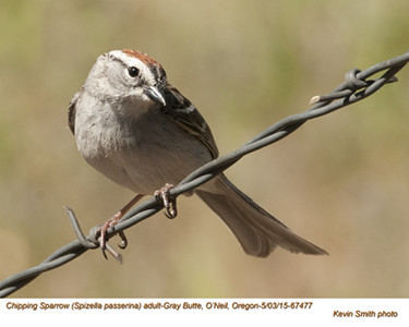 Chipping Sparrow A67477.jpg