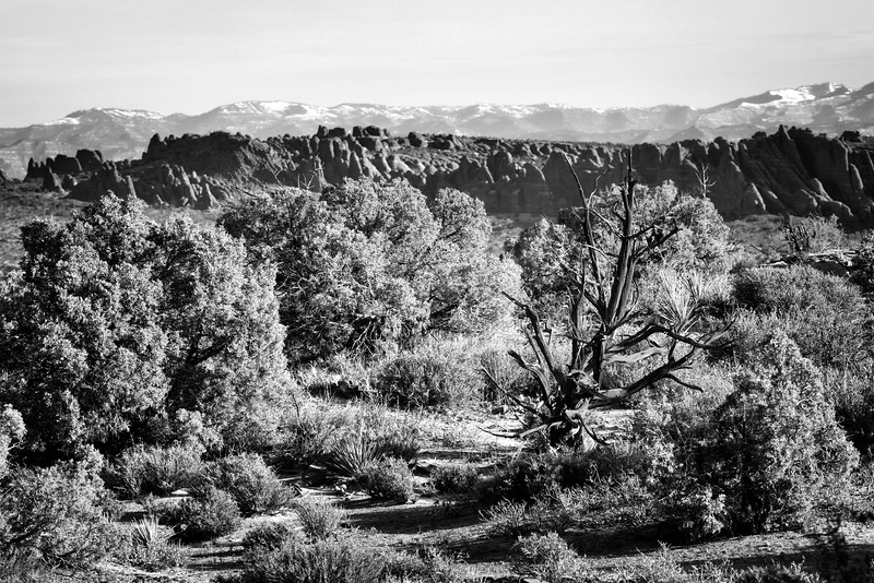 Dead Tree, Arches National Park