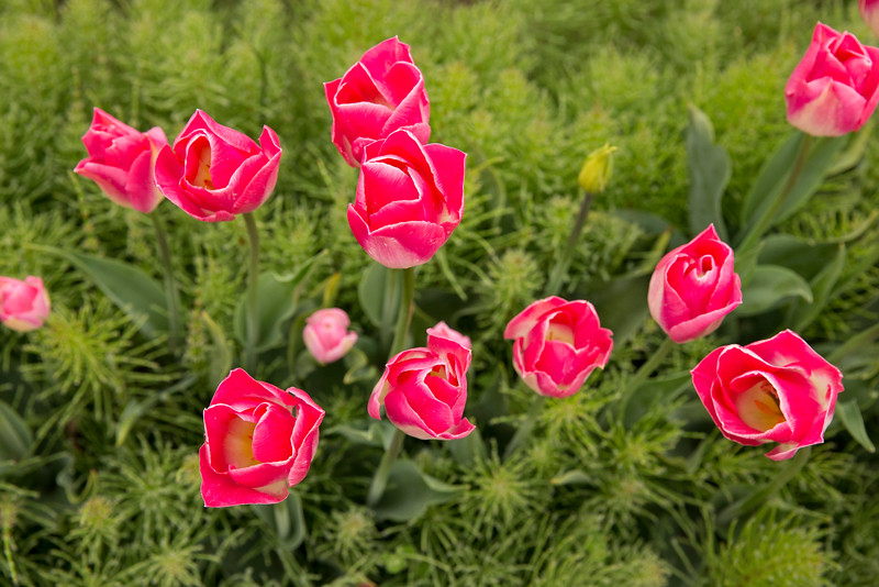 pink tulips wide f.jpg