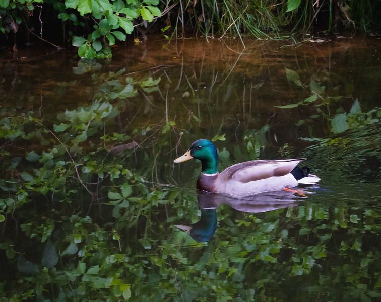 Male Mallard Cruising the Creek