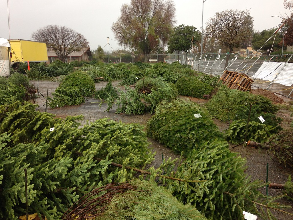. Christmas trees are toppled at a lot on Concannon Boulevard in Livermore, Calif., on Thursday, Dec. 11, 2014. (Cindi Christie/Bay Area News Group)