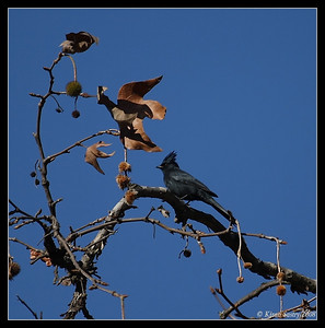 Waxwings, Silky-Flycatchers, Starlings