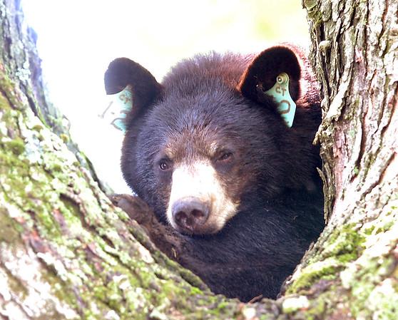 mora_bear-br-052113_1