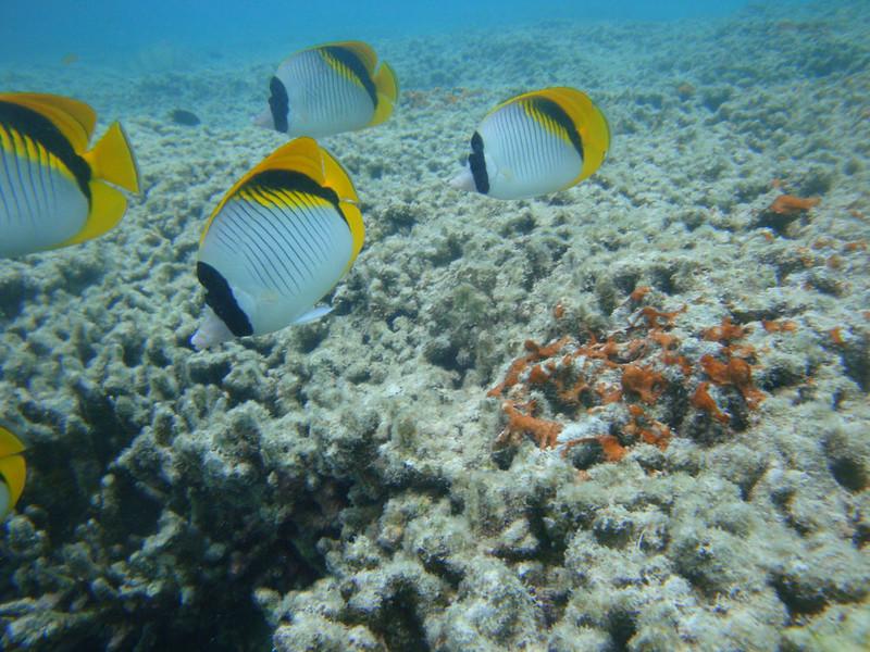 Fish yellow-tailed 2.JPG