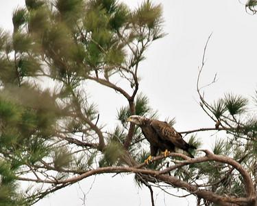 Baytown Bald Eagles - The Interloper  012910