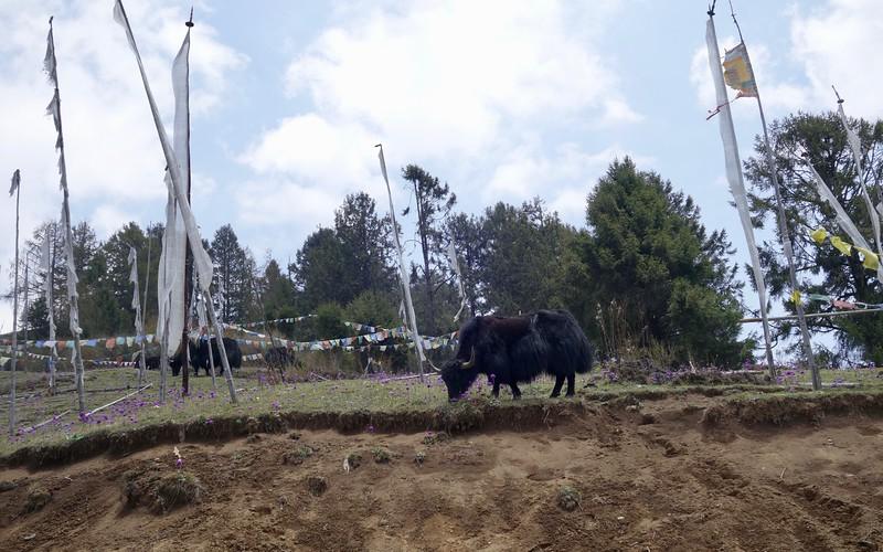 yak, yak, yak with prayer flags