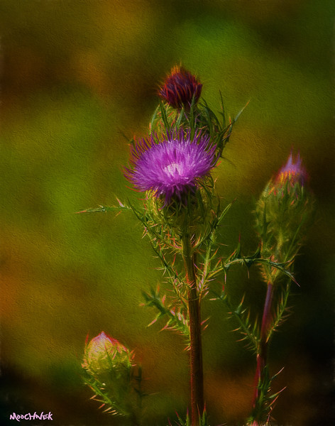 Painted Thistle Plant