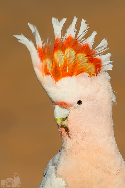 Major Mitchells Cockatoo