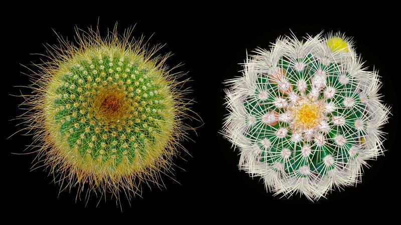 Two Cacti on Black 02 16x9.jpg