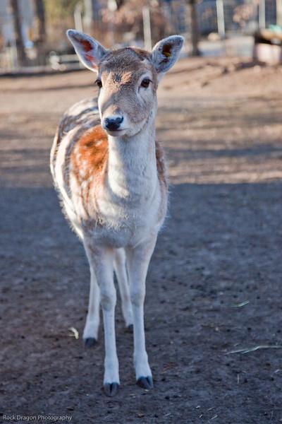 Fallow Deer, Calgary Zoo Nov. 14