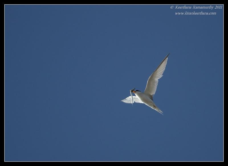 Least Tern with feed, Robb Field, San Diego River, San Diego County, California, July 2011