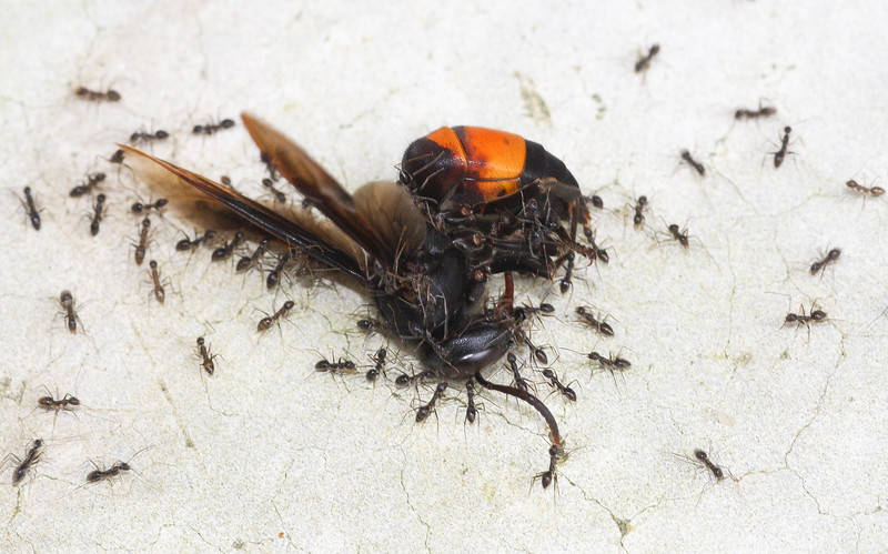 "A ""clean-up crew"" of ants carries away a huge wasp corpse in Koh Chang Island, Thailand."