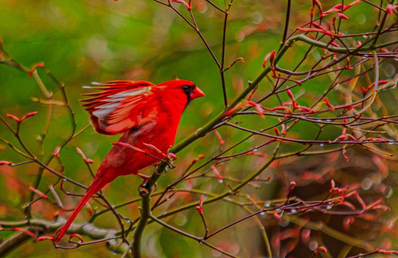 Kind of CardinalsIMG_0001_HDR.jpg