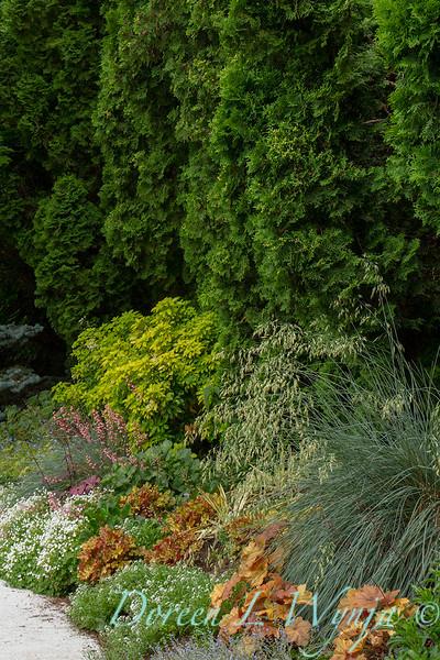 Choisya ternata Sundance - Heuchera Caramel - Helictotrichon sempervirens Sapphire_3474.jpg