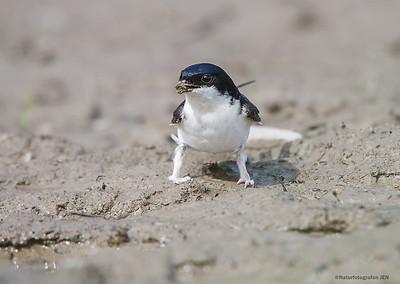 Svaler / Swallow
