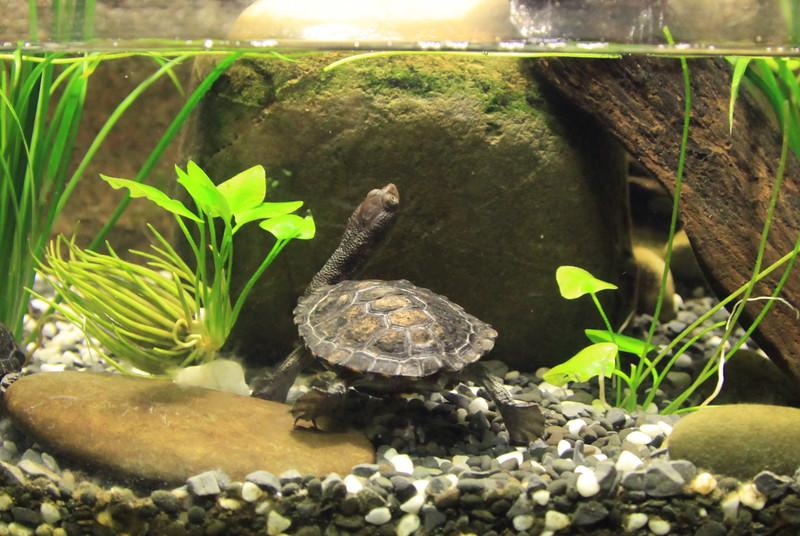 Żółw długoszyiny