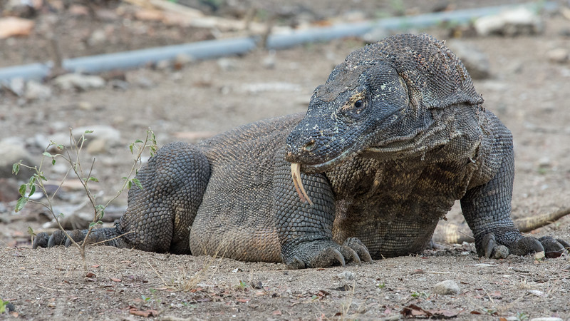 The largest lizards in the world.  They can grow to 10 ft. and 150 lbs.