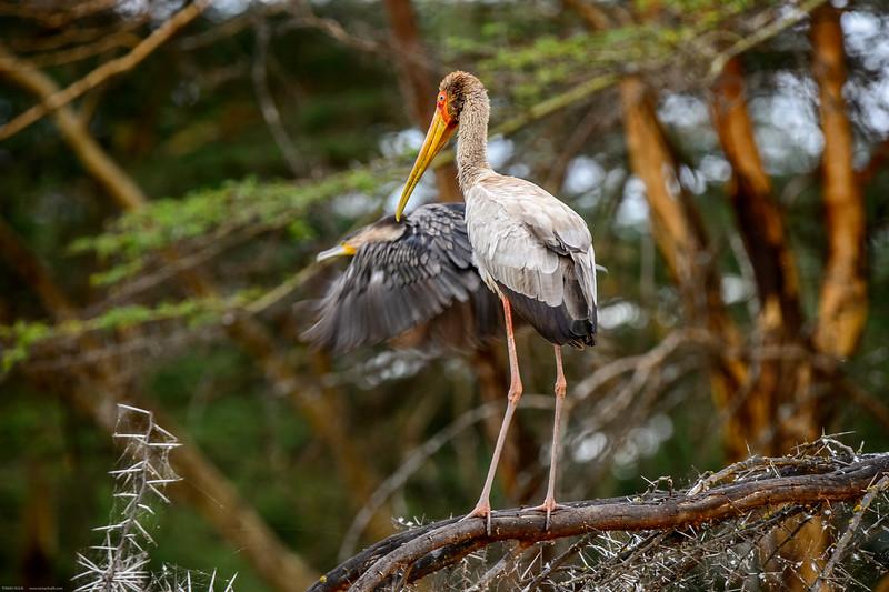 Wellow-billed stork (Mycteria ibis)