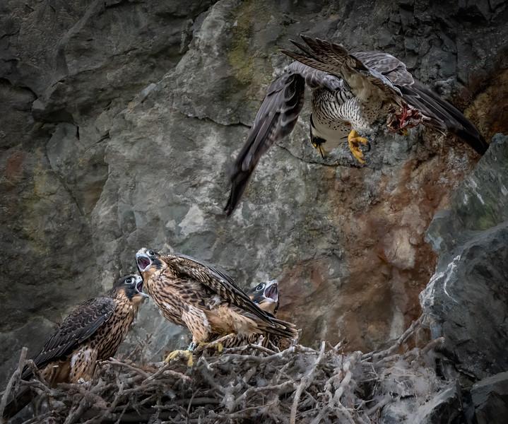 _6009035-Edit Peregrine Falcon parent food drop.jpg