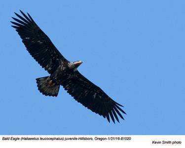 Bald Eagle J81020.jpg
