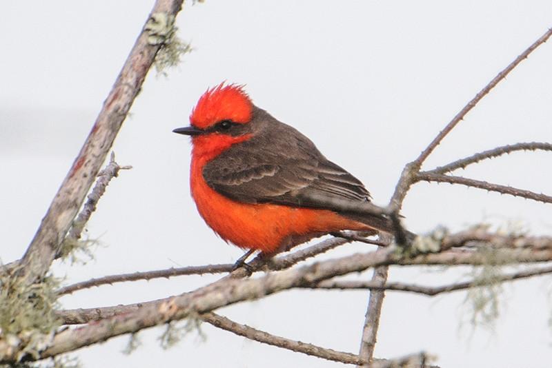 Flycatcher - Vermilion - male - Carrabelle, FL