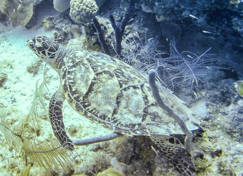 Turneffe turtle