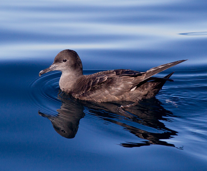 Sooty  Shearwater  Orange County Pelagic  2013 01 12 (1 of 3).CR2 (3 of 11).CR2